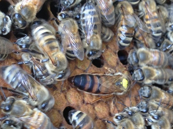 bienenkönigin durch gelee royal