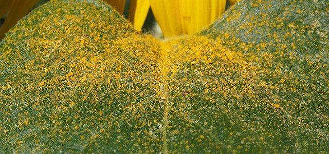 Blütenpollen im Honig