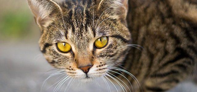 Propolis bei Katzen
