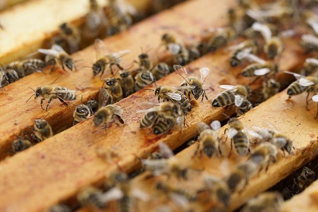 Im Bienenstock sorgt Propolis für relative Keimfreiheit
