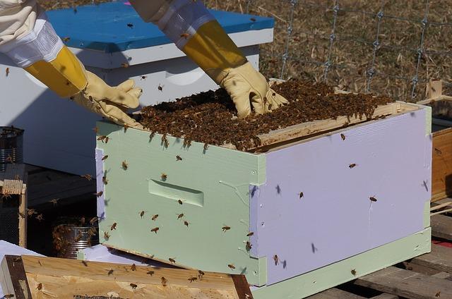 Propolis wird im Bienenstock aufbereitet